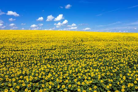 Sunflower field to horizon blue sky aerial view.