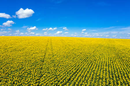 Panorama Yellow field of flowers of sunflowers against a light, blue sky aerial view. 写真素材