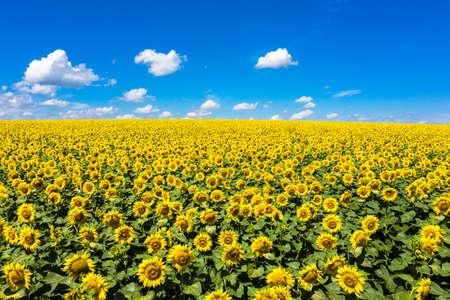 Summer Landscape of Golden Sunflower Field aerial view. 写真素材