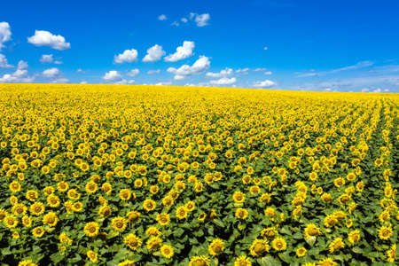 Sunflowers field on sky aerial view.