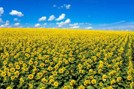 Sunflowers field on sky aerial view. 写真素材