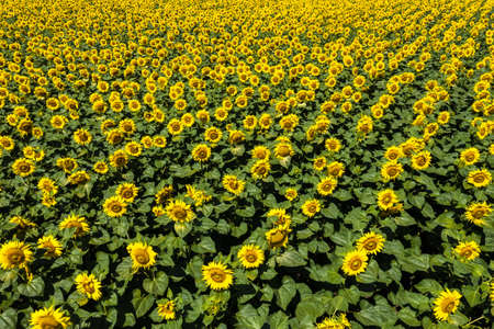 Large beautiful field of sunflowers aerial view background.