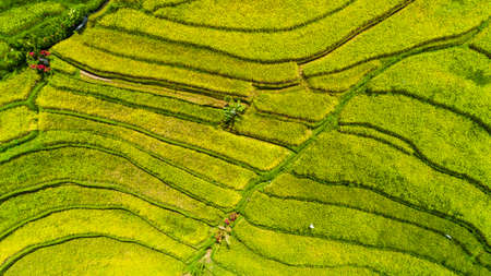 Rice field in the Asia. Top view. 版權商用圖片