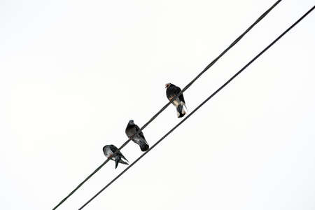 Pigeons sit on power lines