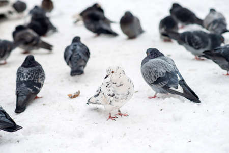 Pigeons sits on white snow in winter