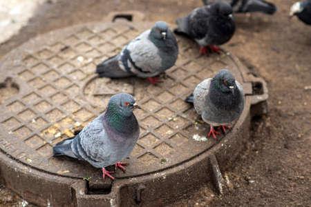 A gray wild pigeon warms up on a manhole in winter close-up. Zdjęcie Seryjne
