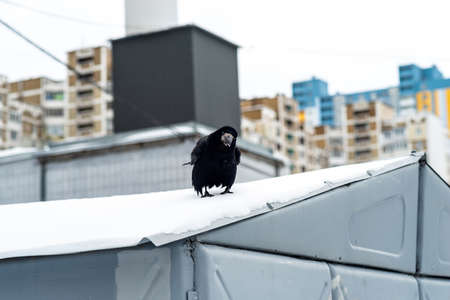 Curious raven sitting on the roof in winter Zdjęcie Seryjne