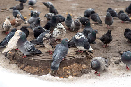 A gray wild pigeon warms up on a manhole in winter middle plan