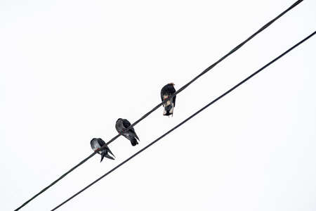 Pigeons sit on power lines white background.