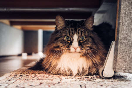 Domestic cat sitting under the couch Zdjęcie Seryjne