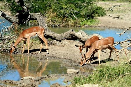 pozo de agua: Impala en la charca Foto de archivo