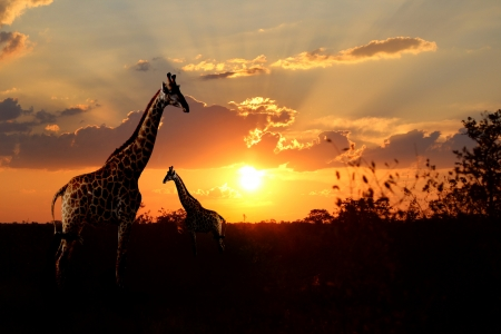 Giraffes with n African sunset Stock Photo - 20311147