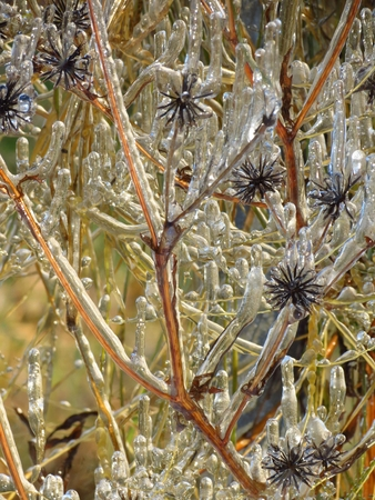 stinking: frozen seed
