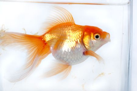 Gold fish in the bowl photo