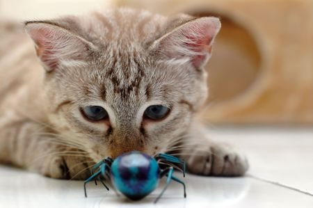 brown pussy: Cat playing with fake bug