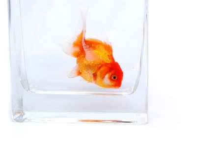 goldy: Gold fish