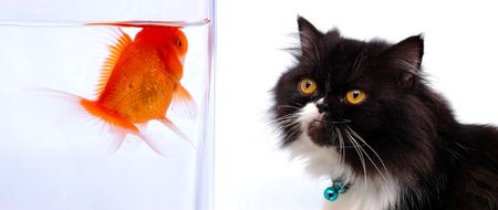 Cat looking at gold fish photo