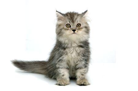 housecat: Grey kitten on white background