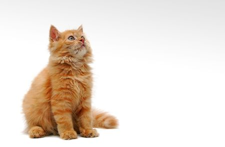 pussy yellow: Orange Kitten on white background - with some space for text Stock Photo
