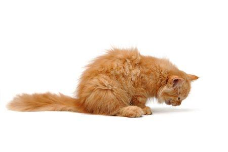 meow: Orange kitten eating - isolated white background Stock Photo