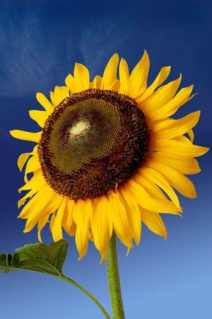 Sun flower over the blue sky Stock Photo