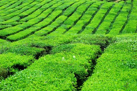 Cameron Highland Tea Plantation photo