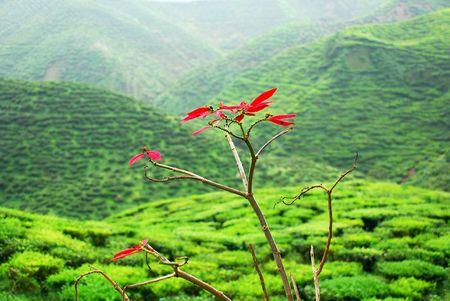 Cameron Highland Tea Plantation Stock Photo - 635945
