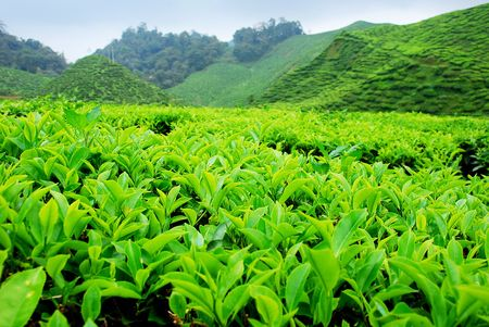 Cameron Highland Tea Plantation Stock Photo - 635946