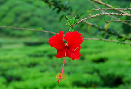 Red hibiscus againts the green fields photo