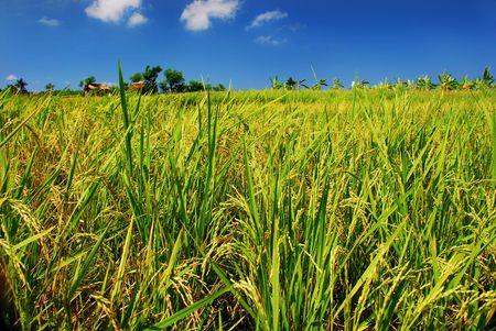 Green paddy field photo