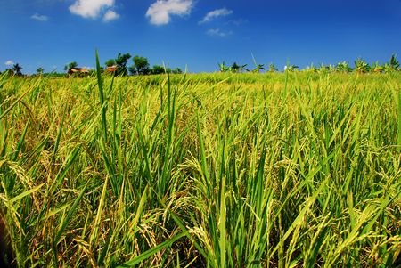 Green paddy field photo