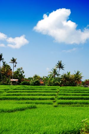 paddy field: Green paddy field