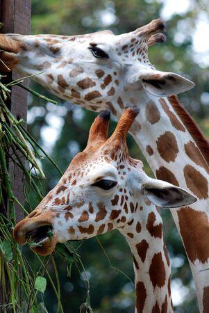 grassing: Giraffe grazing Stock Photo