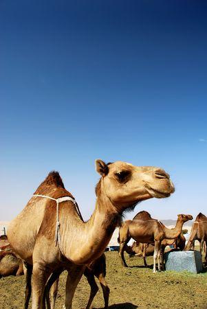 サウジアラビアにラクダの砂漠