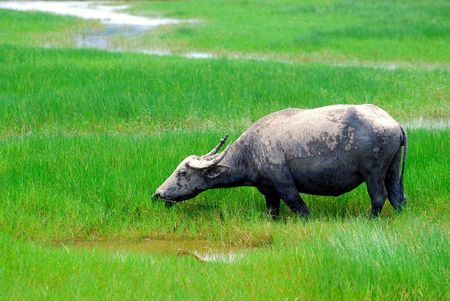 grassing: Buffalo grassing Stock Photo