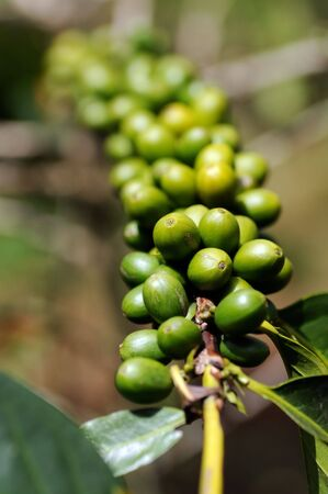 green been: Coffee cherry