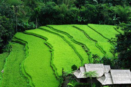 Balinese terraced paddy field