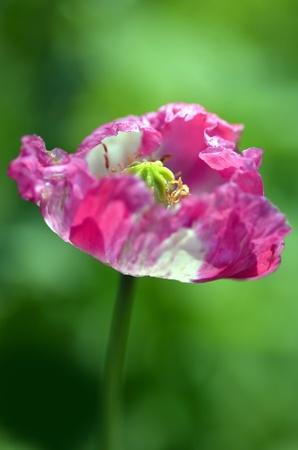 opium poppy: Pink opium poppy