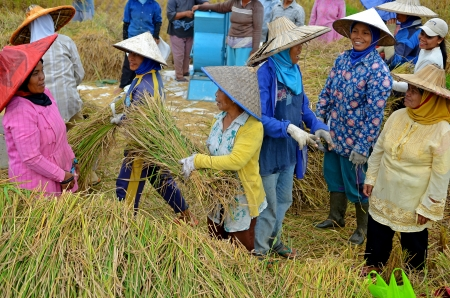 bukit: Bukit Tinggi, Indonesia, December 20, 2012: A group of local people are working together harvesting paddy rice, traditional method are still used for harvesting rice in Bukit Tinggi