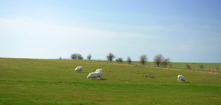 grassing: Sheep grassing on open green field taken in United Kingdom