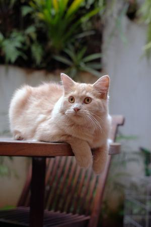 half breed: Half breed Persian cat relaxing
