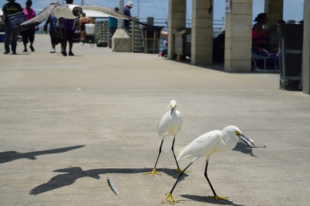 egrets: Snowy Egrets eating fish on pier with a laughing gull swooping in for a snack. Stock Photo