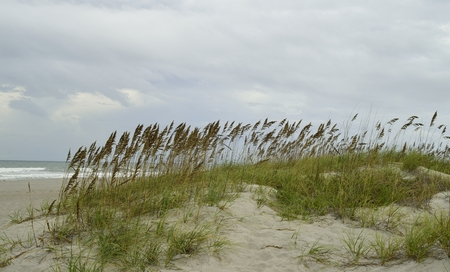 sea oats: Sea oats and grass on a sandy pathway to Cocoa beach, Florida.