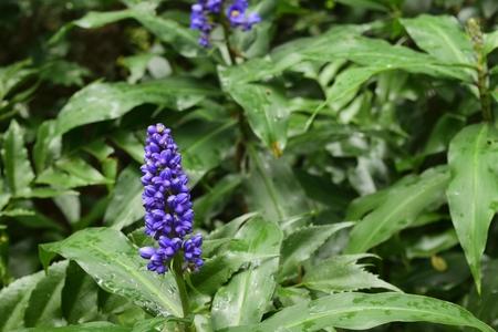 Beautiful purple muscari in a garden after the rain.