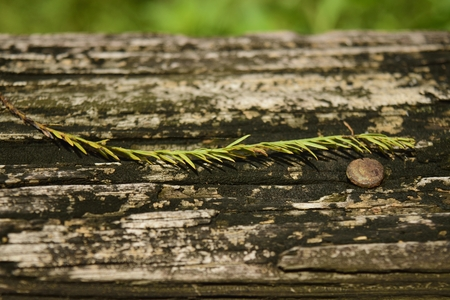 rusty nail: Bottle brush leave on wooden railing of a boardwalk. Stock Photo