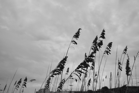 Sea oats blowing in the wind on a stormy day on Cocoa beach, Florida.