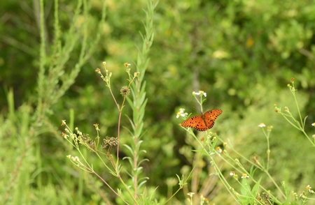 flashy: Beautiful gulf fritillary butterfly resting on a wild flower. Stock Photo
