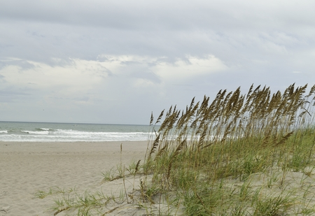 sea oats: Tall sea oats on the sand dunes at the beach.