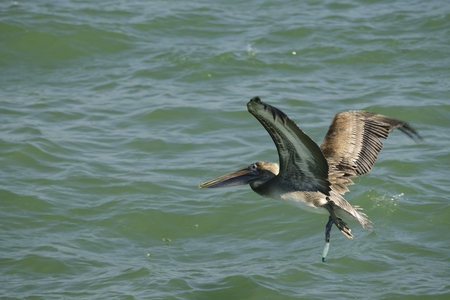 seabird: Brown pelican flying over the Gulf of Mexico. Stock Photo