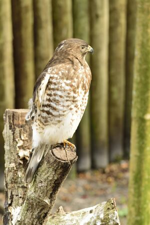 Beautiful American Red tailed hawk resting on a branch.